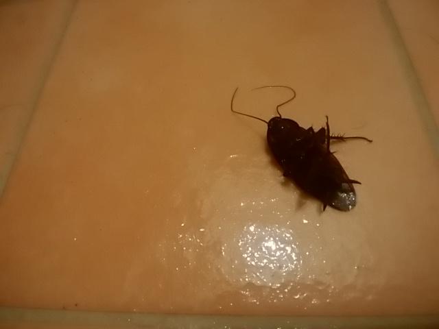 巨大ゴキブリ
